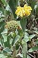 Phlomis fruticosa pm03.jpg