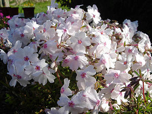 Phlox subulata 'Amazing Grace'