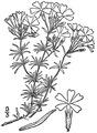 Phlox subulata L Moss phlox.tiff