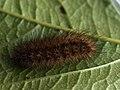 Phragmatobia fuliginosa (larva) - Ruby tiger (caterpillar) - Толстянка бурая (гусеница) (26991010138).jpg