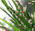 Phyllanthus-angustifolius 1.png
