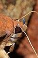 Phyllodes staudingeri, male (Erebidae- Calpinae- Phyllodini) (23224105149).jpg