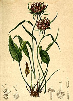 Phyteuma scheuchzeri Atlas Alpenflora.jpg