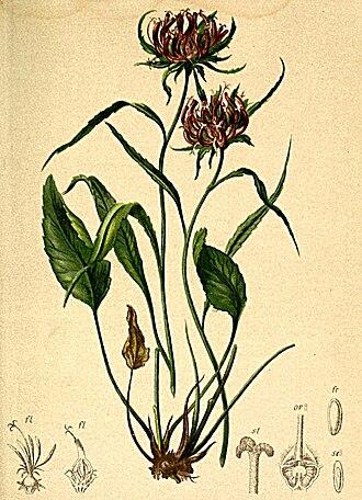 Phyteuma scheuchzeri - Image: Phyteuma scheuchzeri Atlas Alpenflora