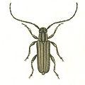 Phytoecia nigricornis.jpg