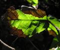 Phytophtora ramorum.png