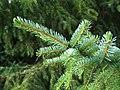 Picea omorika1.jpg
