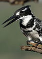 Pied Kingfisher, Ceryle rudis at Pilanesberg National Park, South Africa (15805233457).jpg
