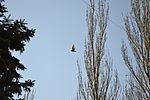 Pigeon in flight.jpg