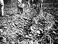 PikiWiki Israel 1212 Kibutz Gan-Shmuel ks12- 3 גן-שמואל-איסוף תפוחי אדמה 1933-8.JPG