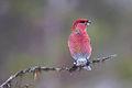 Pine Grosbeak (Pinicola enucleator) (13667537013).jpg