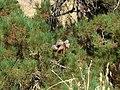 Pine cones - panoramio.jpg