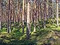 Pine forest 002.jpg