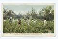 Pinehurst Tea Gardens, Summerville, S. C (NYPL b12647398-79556).tiff