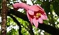 Pink Passion Flower (Passiflora amoena) (40088061321).jpg