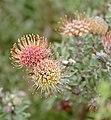 Pink Pincushion (Leucospermum calligerum) (32733786721).jpg
