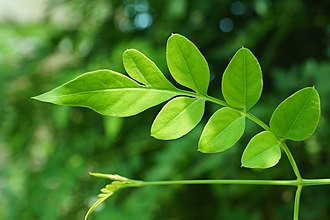Jasminum polyanthum - Image: Pink jasmine leaf 8