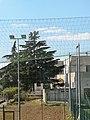 Pino d'Aleppo Montescaglioso.jpg