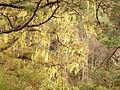 Pinus canariensis (Barlovento) 15 ies.jpg