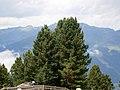 Pinus cembra RHu 01.JPG