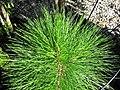 Pinus elliottii (slash pine) 2 (38524173375).jpg