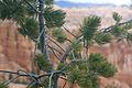 Pinus flexilis foliage Bryce Canyon.jpg