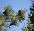Pinus jeffreyi cones BigBearLake.jpg