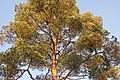 Pinus sylvestris (372192411).jpg