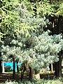 Pinus wangii - Kunming Botanical Garden - DSC02735.jpg