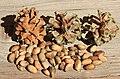 Pinyon cones with pine nuts - Swall Meadows, Mono County, California.jpg