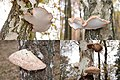 Piptoporus betulinus (Birch Polypore or Razorstrop Fungus or Birch Bracket, D= Birchenporling, F= Polypore du bouleau, NL= Berkenzwam), white spores, causes brownrot, on birches at Hoge Veluwe - panoramio.jpg