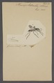 Planiceps - Print - Iconographia Zoologica - Special Collections University of Amsterdam - UBAINV0274 043 06 0028.tif