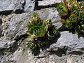 Plantae Magnoliophyta Magnoliopsida Rosidae Rosales Crassulaceae Sempervivum ? 1 (Belgium Hainaut 2006).JPG