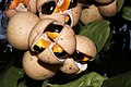 Plants Chisocheton cumingianus fruit IMG 8255 aril seed.jpg