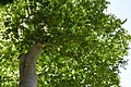 Platanus Orientalis at the National Garden of Athens.jpg