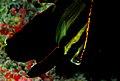 Plataxpinnatus.jpg