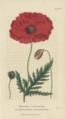Plate 13 Papaver rhoeas Conversations on Botany-1st edition.tiff
