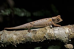 Plated leaf chameleon (Brookesia stumpffi) Lokobe.jpg