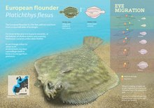 European Flounder Wikipedia It became important aquaculture species due to high growth rate, feed. european flounder wikipedia