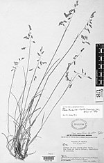 Poa mulleri Swallen - photo of holotype collection (Mueller 2251) - PhytoKeys-015-001-g012.jpeg