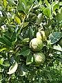 Pohon jeruk 2.jpg