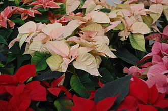 Poinsettia - Poinsettia varieties on sale in England