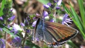 File:Polyommatus icarus.ogv