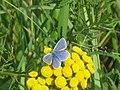 Polyommatus icarus ♂ - Common blue (male) - Голубянка икар (самец) (40992988682).jpg