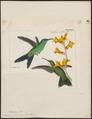 Polytmus glaucopis - 1820-1860 - Print - Iconographia Zoologica - Special Collections University of Amsterdam - UBA01 IZ19100151.tif