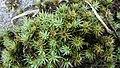 Polytrichum juniperinum (Polytrichaceae), Nijkerkernauw, the Netherlands - 2.jpg