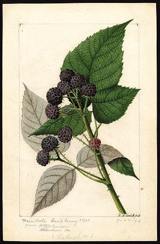 Rubus occidentalis - Image: Pomological Watercolor POM00007255