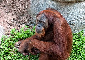 Pongo pygmaeus English: A Bornean orangutan at...