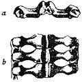 Porcellanaster ceruleus, arm anatomy.jpg