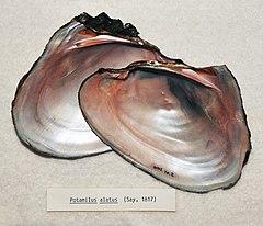 240px potamilus alatus (say, 1817)